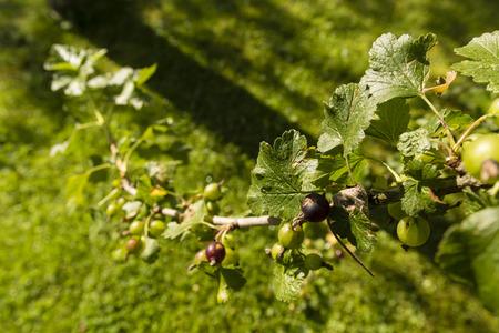 currant: Currant fruit. Stock Photo