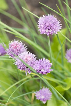 cebollines: Flor de cebollino. Foto de archivo