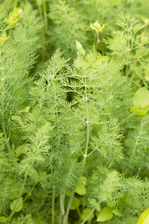 dill leaves: Dill leaves. Stock Photo