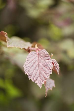 pinkish: Hazels pinkish leaves. Stock Photo