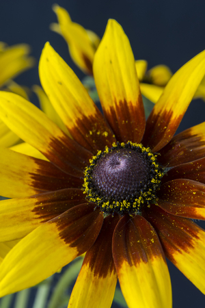 arnica: Arnica flower with a black background. Stock Photo