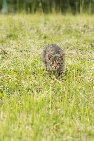 prowl: Gray tabby cat on the prowl in the grass.