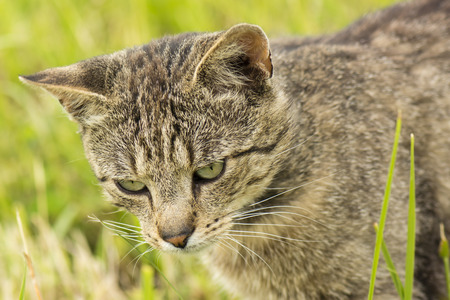 gray tabby: Gray tabby cat on the prowl in the grass.