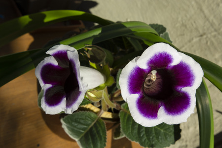 white trim: Purple bell-shaped flowers Gloxinia with white trim.