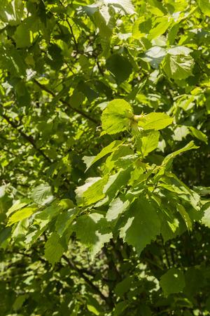 hazelnut tree: Fruit hazelnut tree with green leaves.