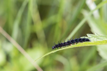 oruga: Oruga de la mariposa del ojo del pavo real. Foto de archivo