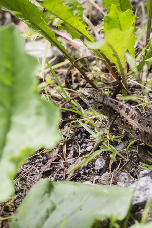 coldblooded: Lizard in the wild.