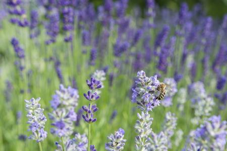 bee on flower: Bee on lavender flower.