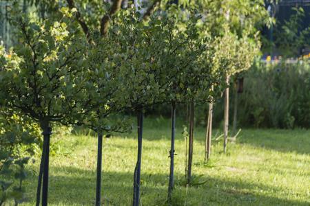 grosella: Serie árbol de grosella.
