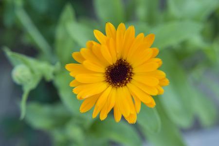 庭にオレンジ色のキンセンカの花。