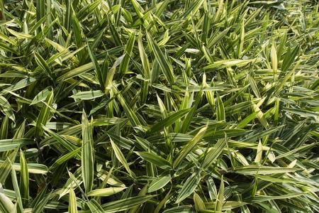 subtlety: Bamboo leaves. Stock Photo