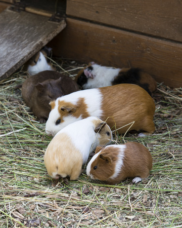 Color guinea pig in a paddock. 스톡 콘텐츠