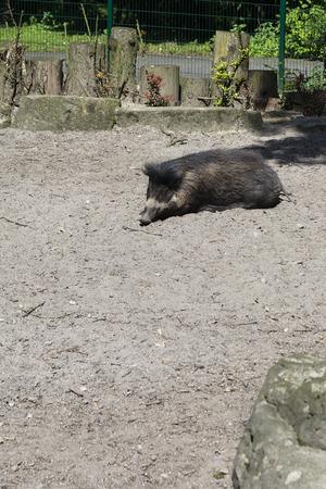 jabali: Gran cerdo salvaje mentira. Foto de archivo