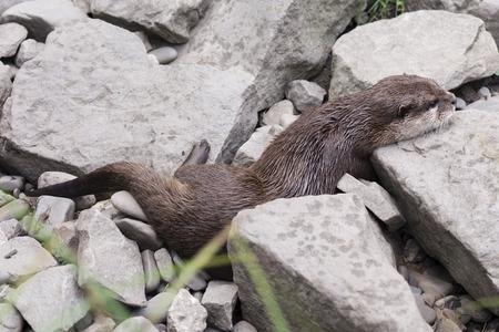 resting: Otter resting on rocks.