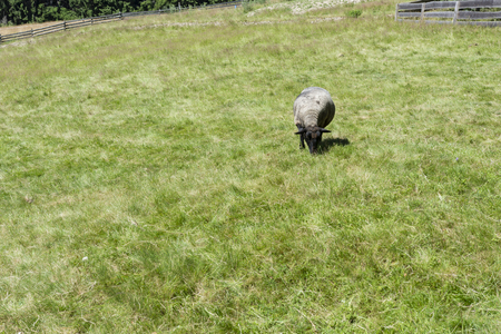 oveja negra: Negro ovejas en el pasto.