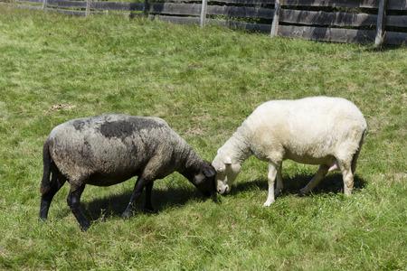oveja negra: ovejas blanco y negro. Foto de archivo