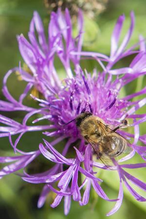 bee on flower: Bee on a flower cornflowers.