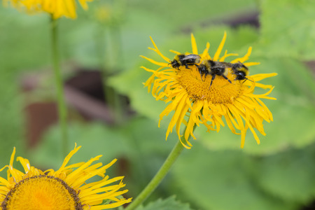Arnica: Bumblebee on a yellow flower arnica.