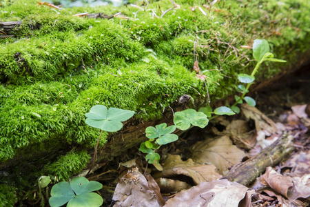 decaying: Decaying trunk with moss in the forest.