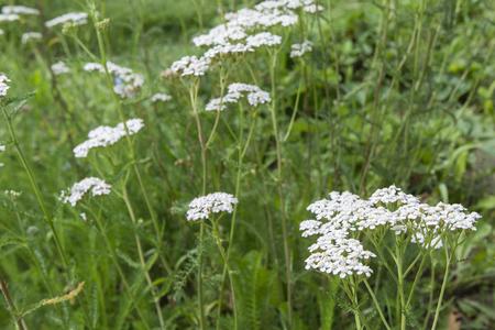 yarrow: Yarrow flower. Stock Photo