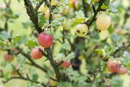 grosella: grosella espinosa de color rosa en un arbusto.
