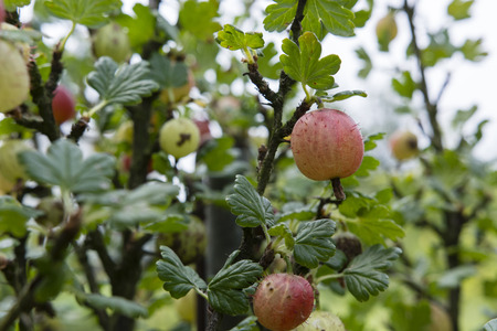 grosella: Pink gooseberry on a bush.