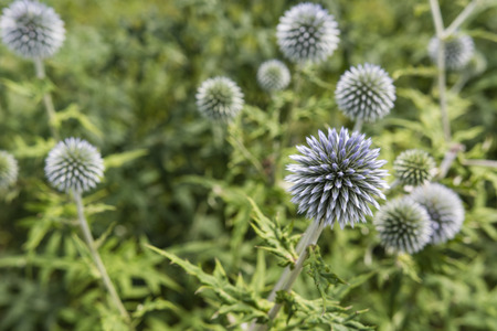 without: Ornamental flowering thistle without. Stock Photo