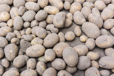 dug: Freshly dug potatoes.