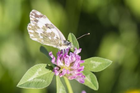 Whitey watercress on clover.