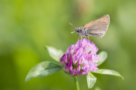 Skipper butterfly.