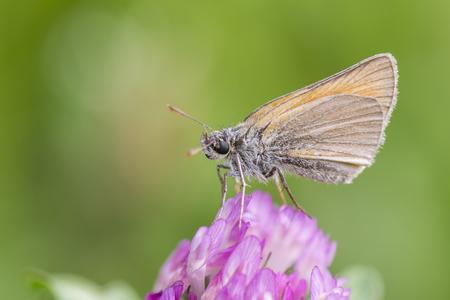 ochlodes: Skipper butterfly.