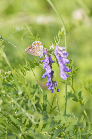 common blue: Common Blue butterfly.