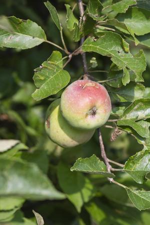 Ripened apples on the tree. Stock Photo