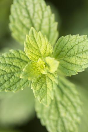 lemon balm: Green leaf of lemon balm. Stock Photo
