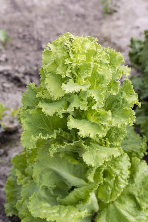 grown: Grown lettuce.