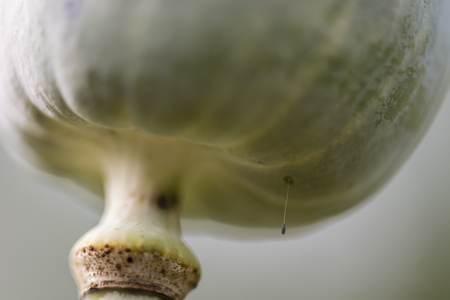 lacewing: Lacewing egg - Chrysopa.
