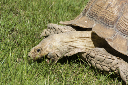 stretchy: Large turtle eating grass.