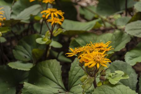 Arnica: Yellow flower mountain arnica.