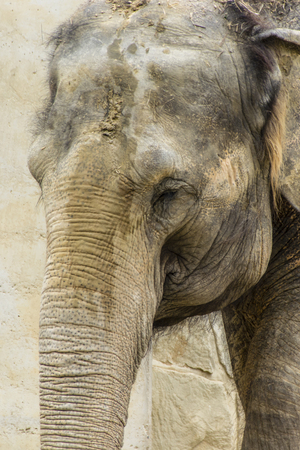 tusks: The head of an elephant without tusks.
