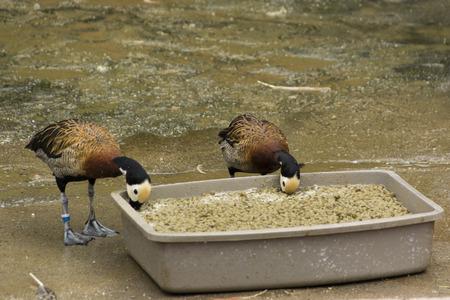 featureless: Ducks feeding from the tray.