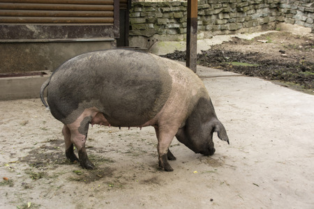 sows: Adult sows gray and pink in the paddock. Stock Photo