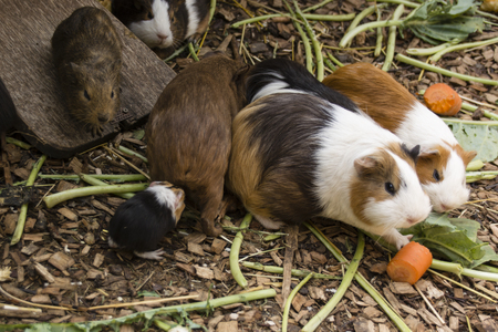 Young guinea pig in a paddock.