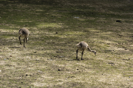 ostrich chick: Ostrich chick looking for food.