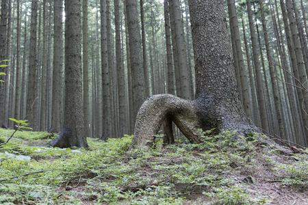 enthroned: Bent root spruce forest.