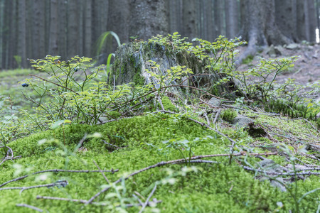 bole: Blueberries in the forest and tree stump. Stock Photo