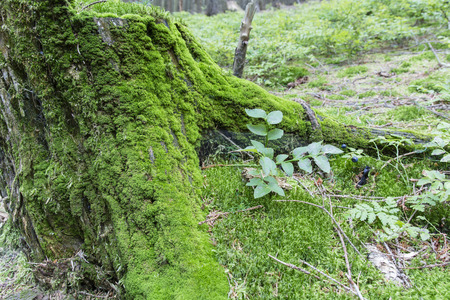 bilberry: Mossy tree stump in the forest and bilberry. Stock Photo
