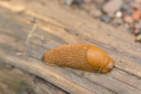 babosa: bosque babosa de color marrón. Foto de archivo