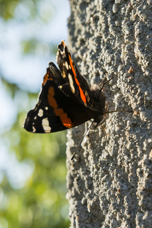 excludes: Butterfly Vanessa Atalanta exclusive excrement.