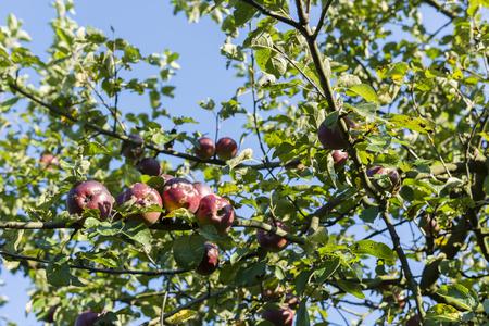 blushing: Blushing apple tree. Stock Photo