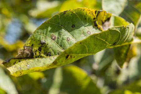 damaged: Damaged leaves of walnut.